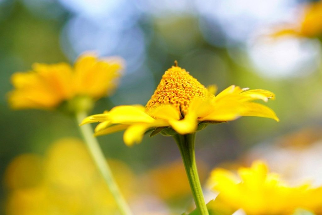 flower, daisy, plant